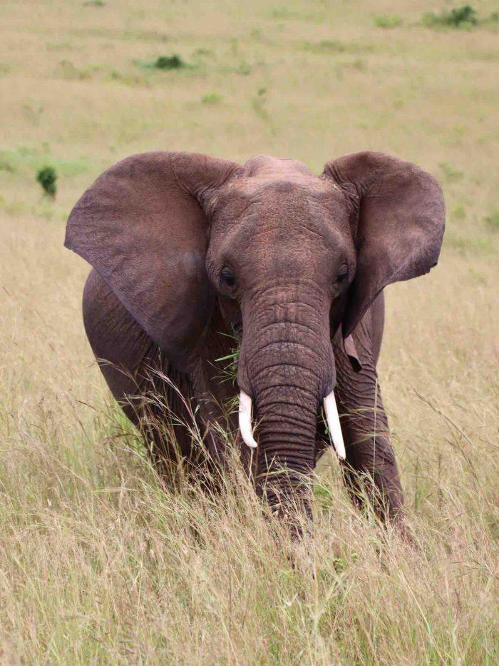 Wild African Elephant_AOT
