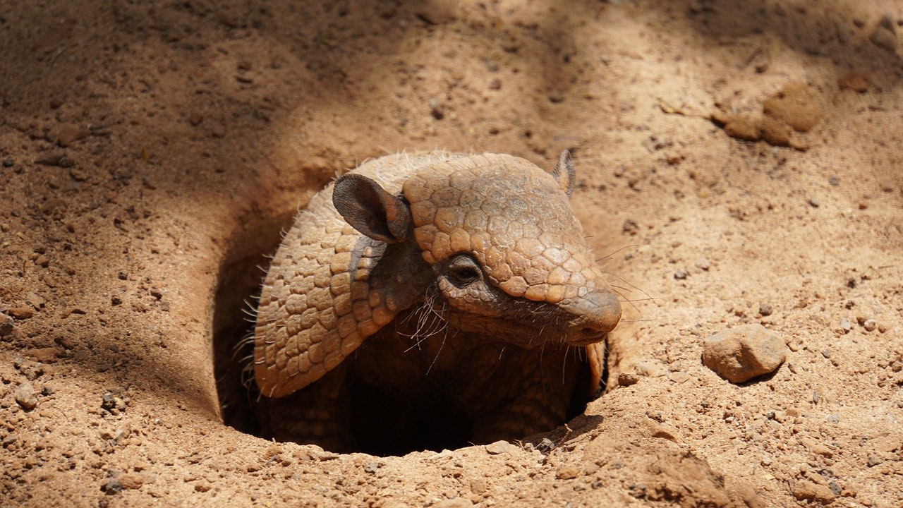 Armadillo_Canary Islands_PD