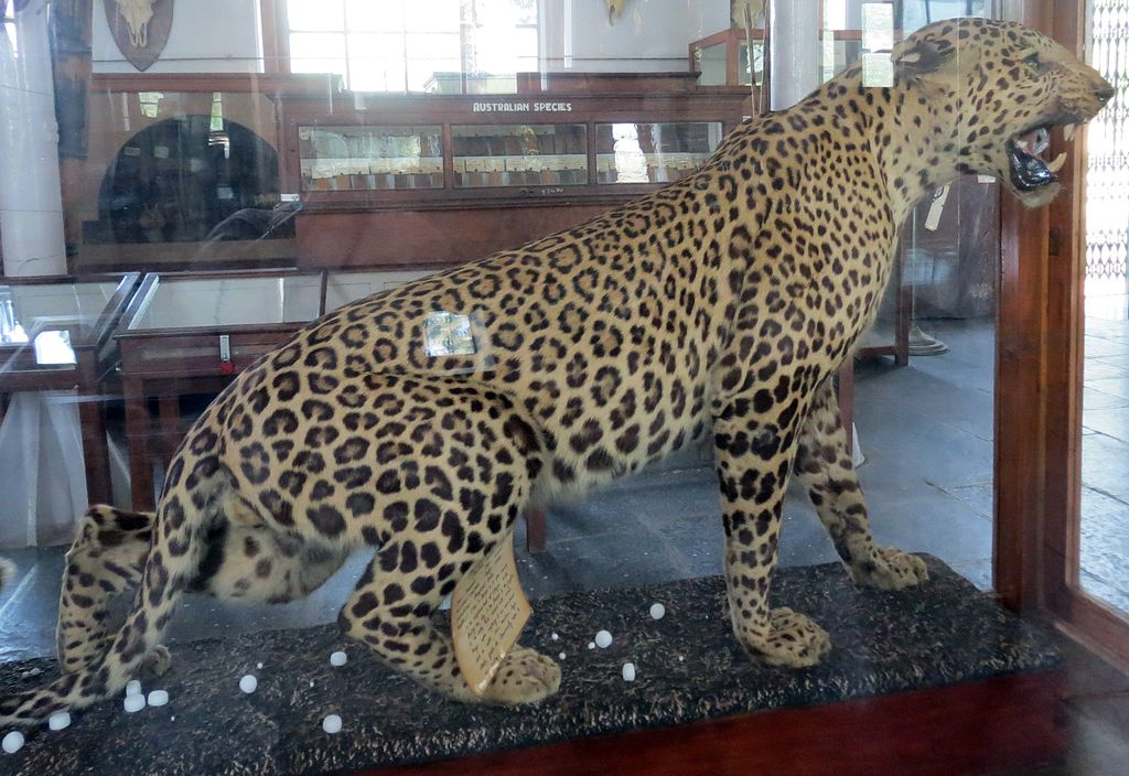 Leopard_at_Gass_Forest_Museum_Coimbatore_Tamil_Nadu_India_CCSA3.0_Wikipedia