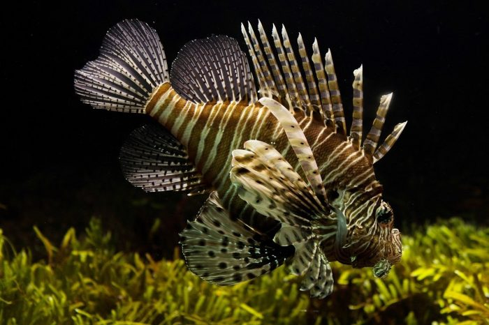 Lionfish_Sealife Aquarium_PD