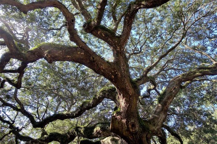 Live Angel Oak Tree_South Carolina_USA_PD