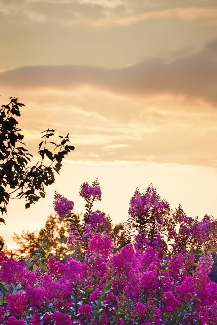 Sunset in Crape Myrtle_South Carolina_USA_PD