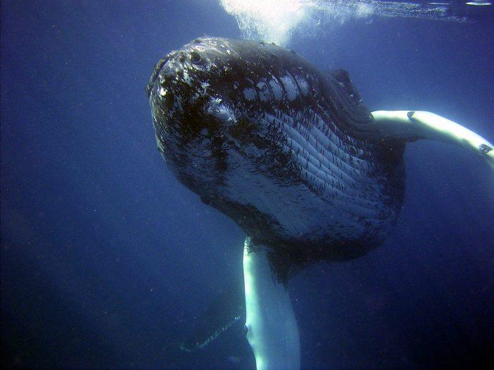 humpback whales_PD