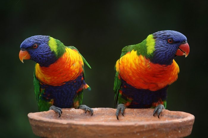 rainbow-lorikeet_bird world_PD