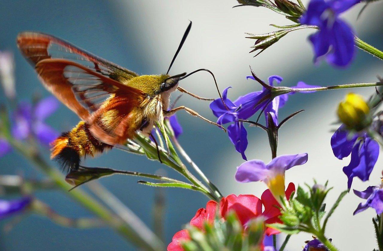 hummingbird sphinx moth_insectarium_PD