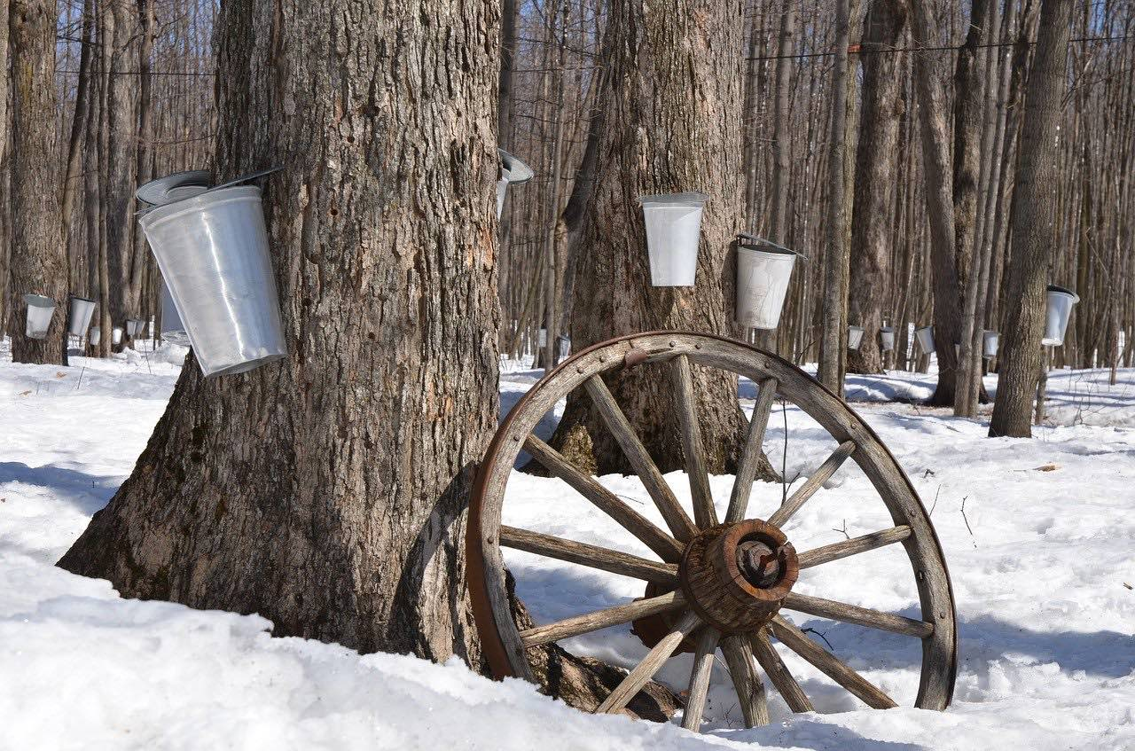 maple syrup sap collection_PD
