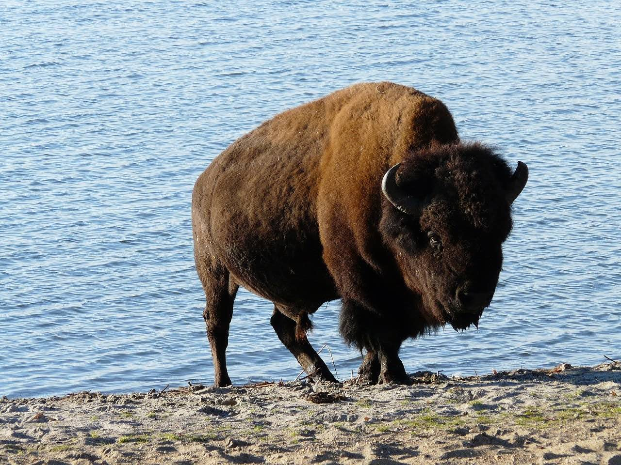 Bison by water_PD