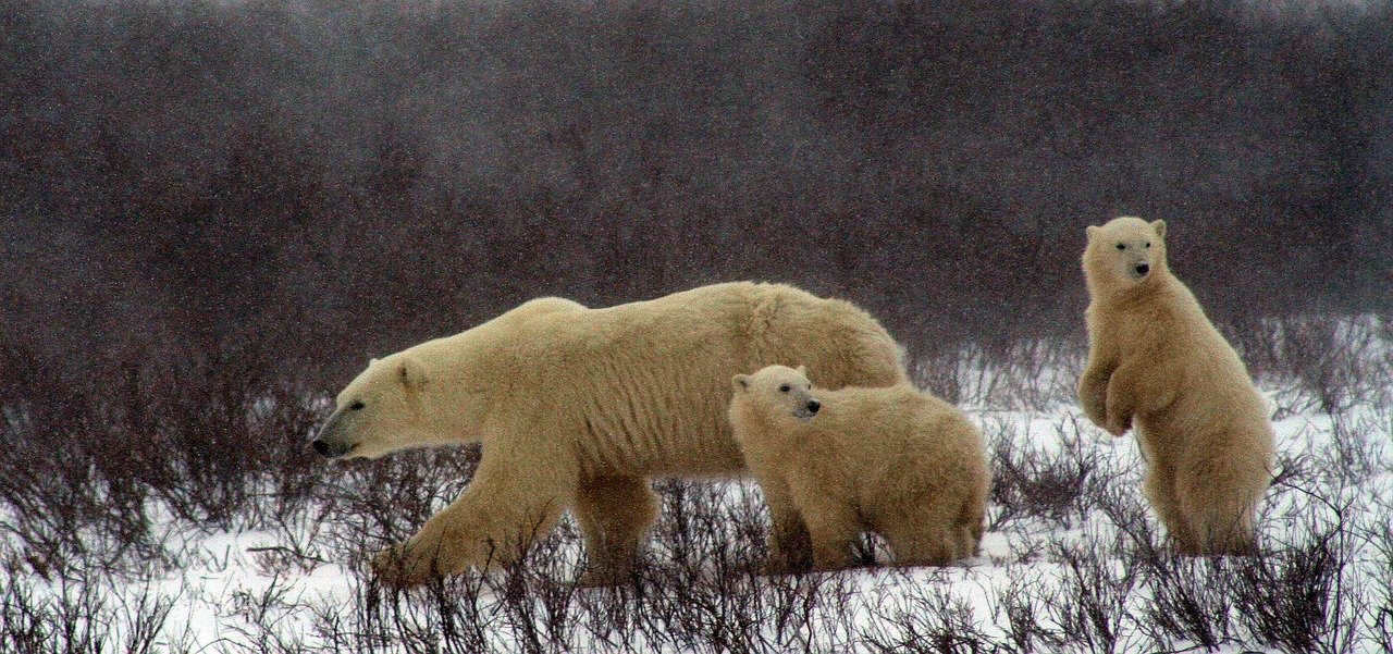 Polar Bear And Cubs_Churchill Canada_PD