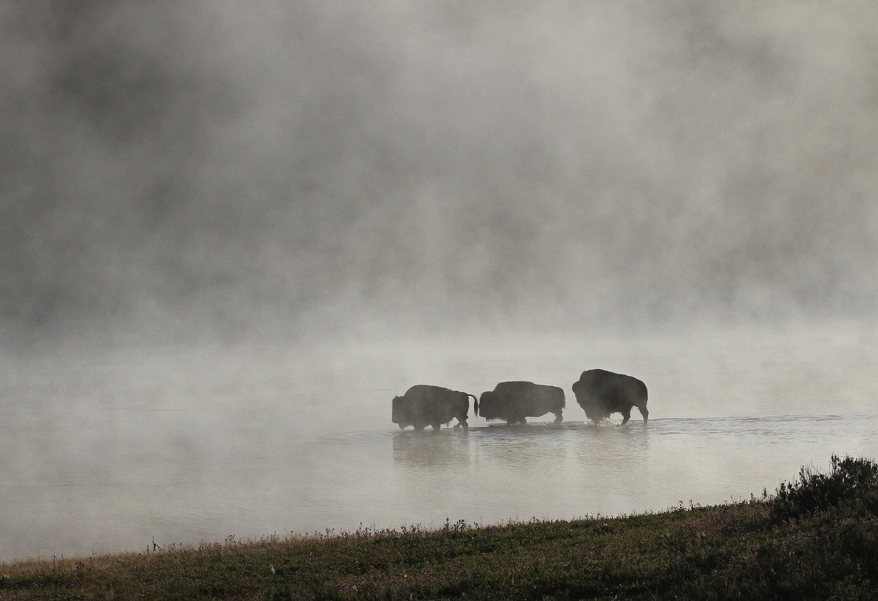 a bison herd in the prairies_PD