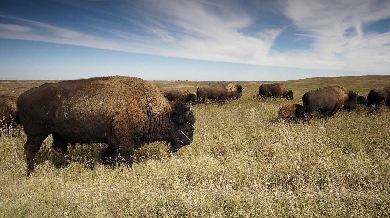 bisons in prairies_PD