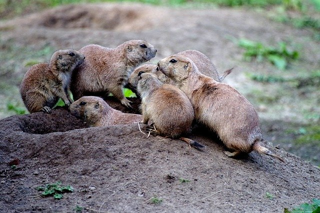 prairie dogs_wildlife_nature_PD