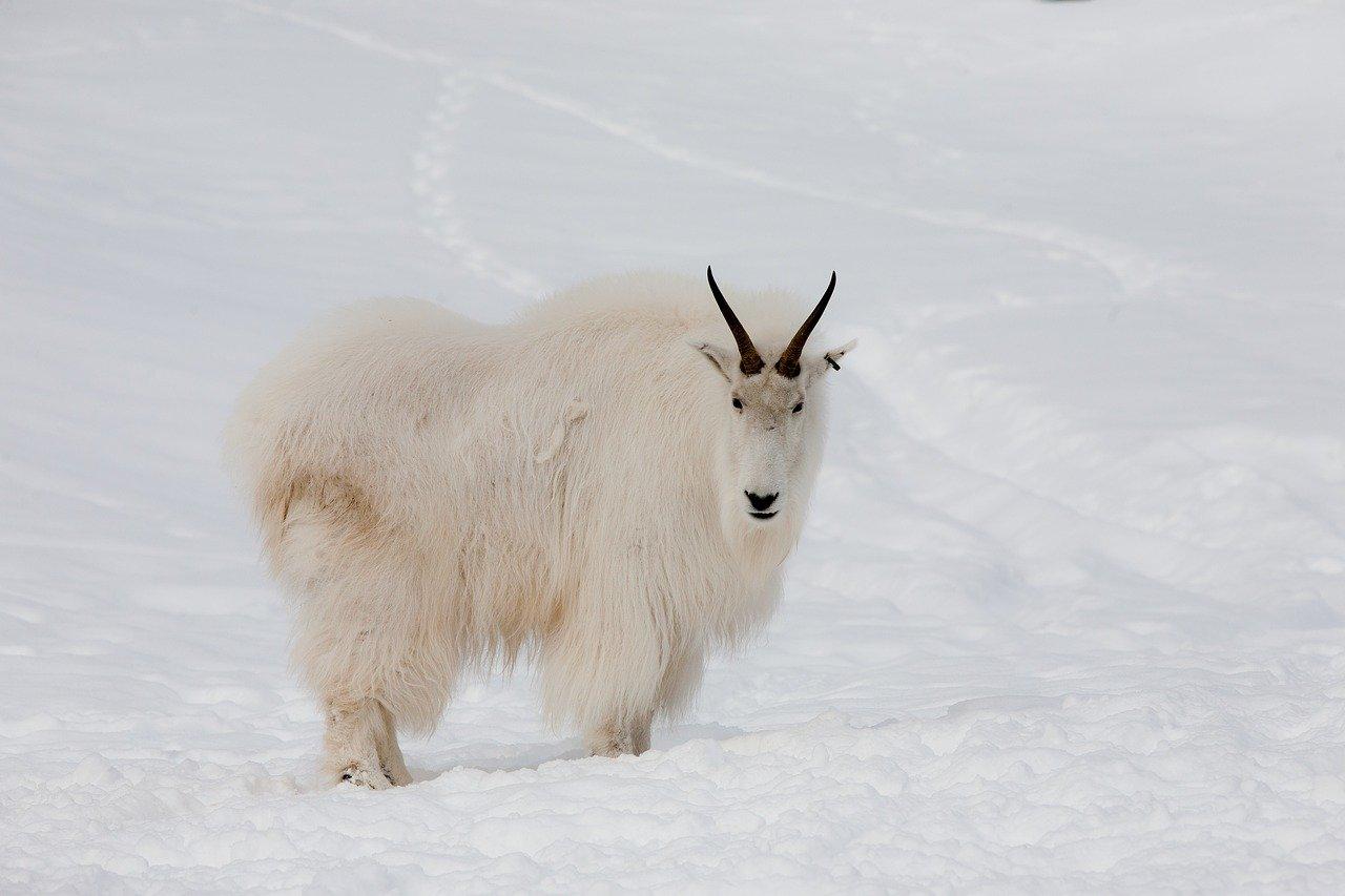Mountain Goat in Yukon_Canada Wildlife_PD