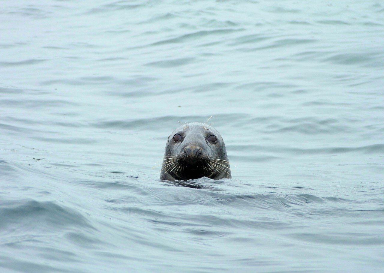 Atlantic grey seals_PD