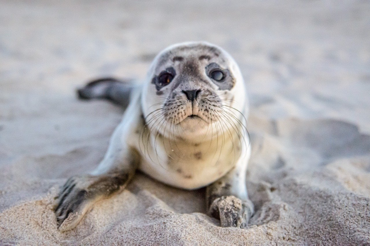 Baby Seal pup_PD