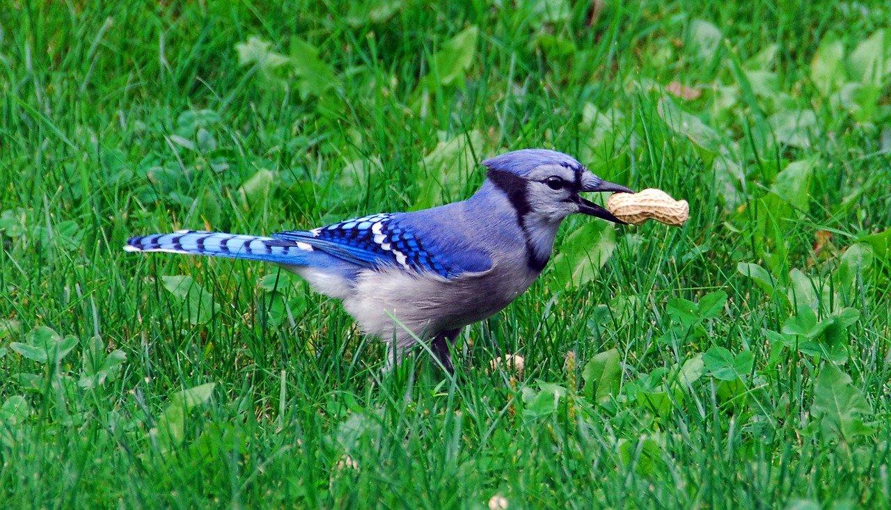 Blue Jay Bird_PD