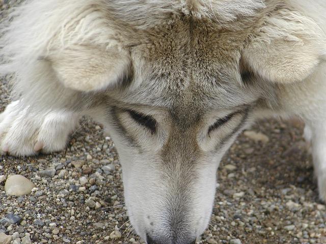 Grey Wolf_Yukon Canada_PD