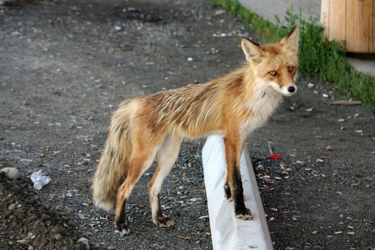 fuchs_canadian fox_Yukon_Wildlife Canada_PD