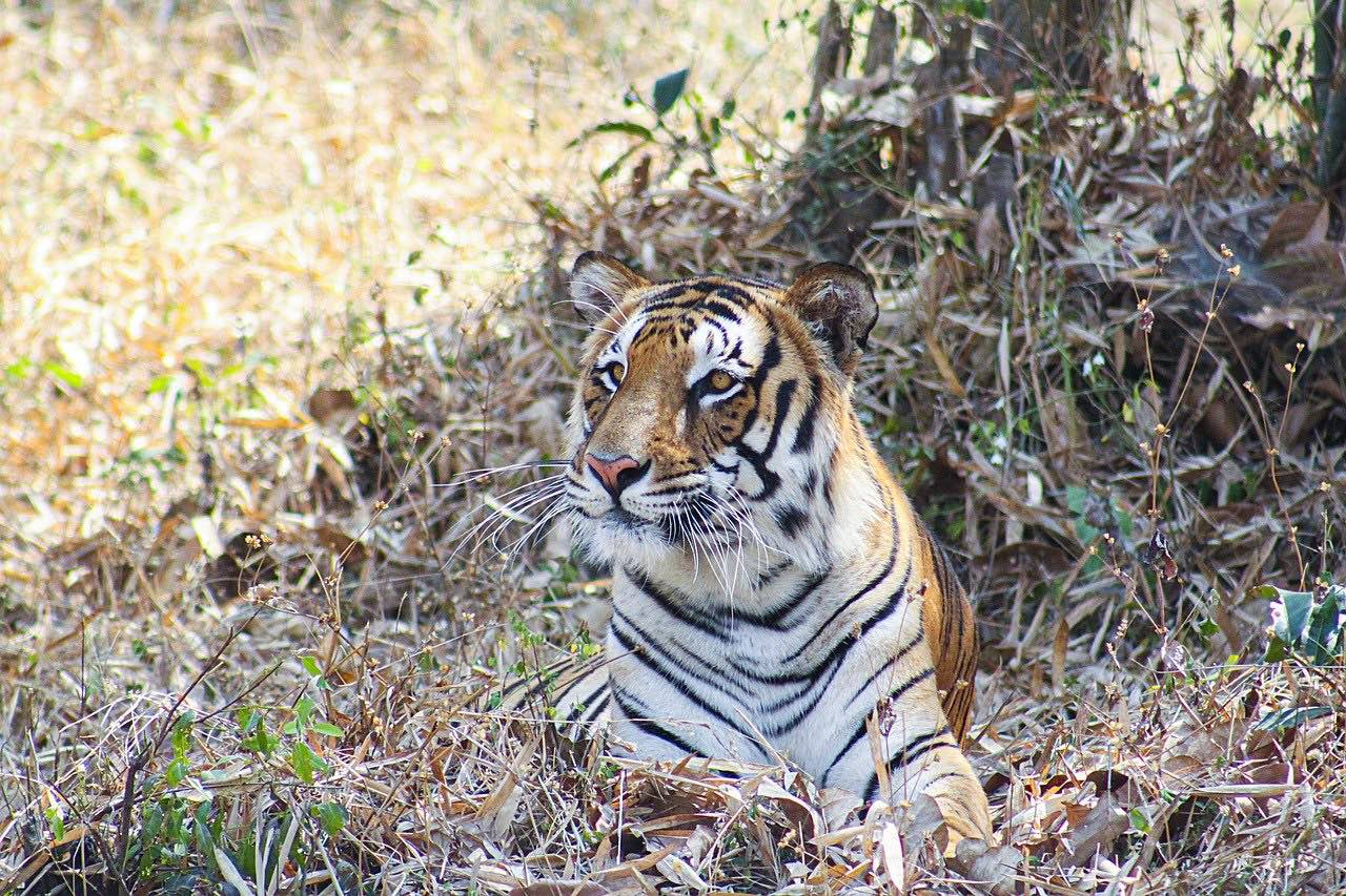 Bengal Tiger_India_Bangladesh_PD