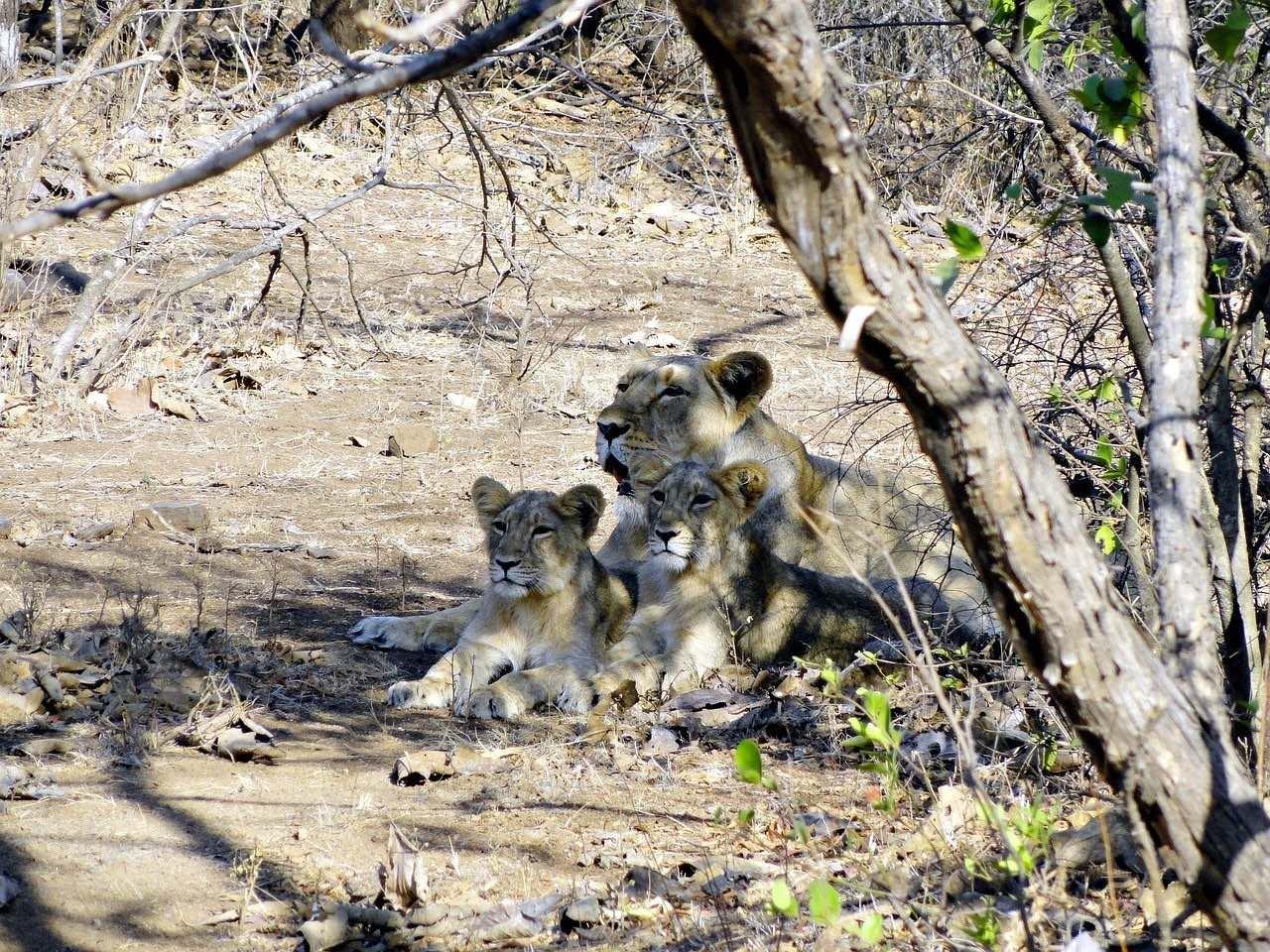 Indian Lion_National Park Safari_India_PD