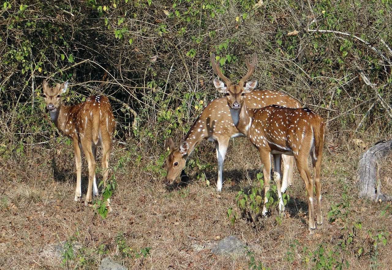 Spotted Deer_Chital_Indian National Park Safari_PD